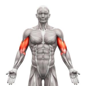 Travailler les biceps efficacement
