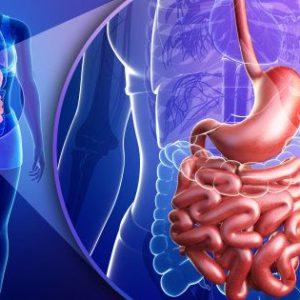 La flore intestinale et digestion