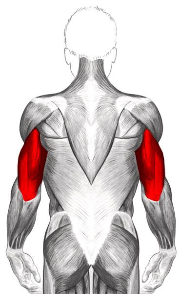 Travailler les triceps efficacement