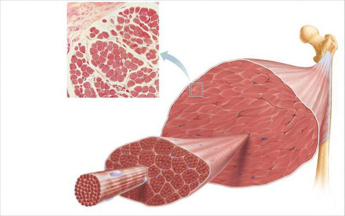Les différents types de fibres musculaires